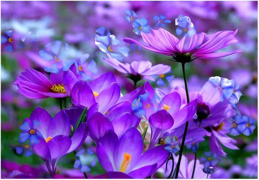 Заставки Космея, крокусы, цветы