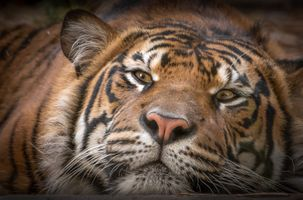 Бесплатные фото тигр,хищник,животное,морда,взгляд