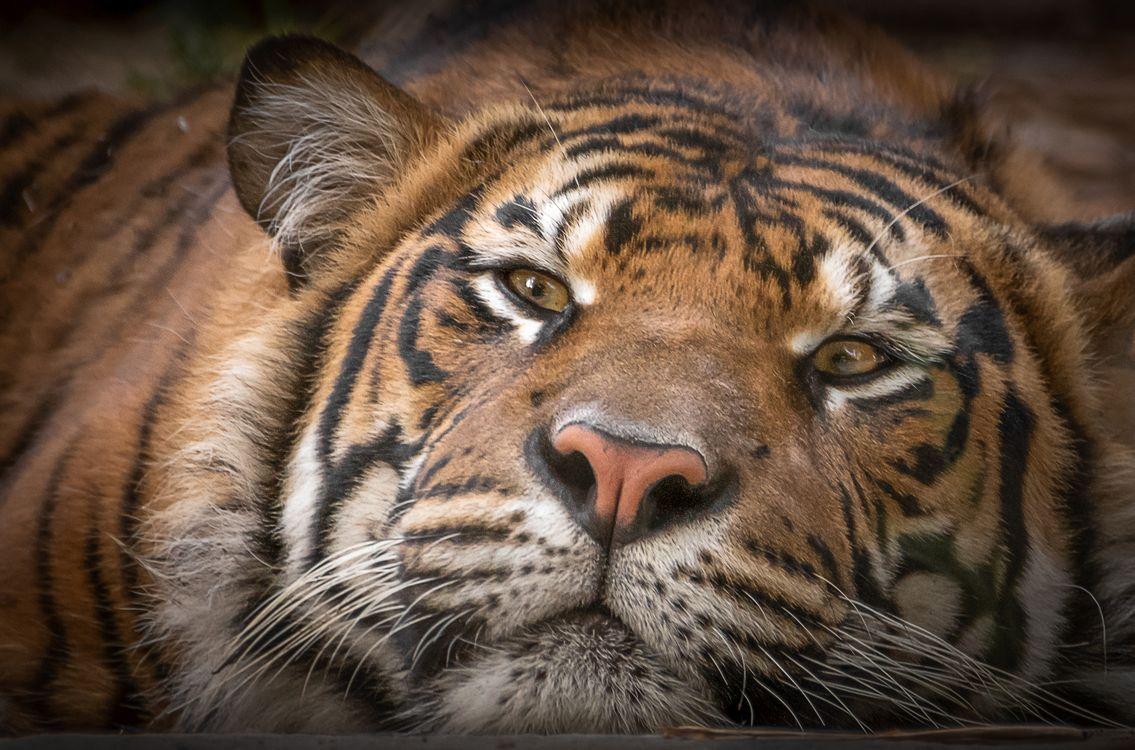 Фото бесплатно тигр, хищник, животное, морда, взгляд - на рабочий стол