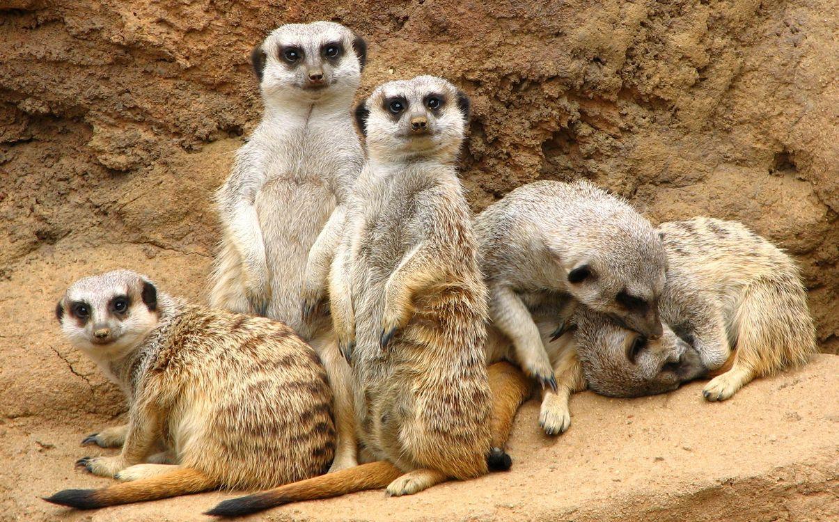 Фото бесплатно meerkat, suricate, suricata, suricatta, сурикаты, сурикат, meerkat family, животные, животные