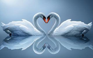 Фото бесплатно лебеди, пара, сердце