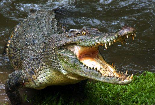 Заставки аллигатор, крокодил, голодный
