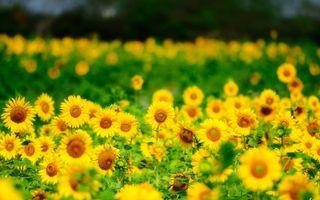 Фото бесплатно цветы, лето, подсолнух