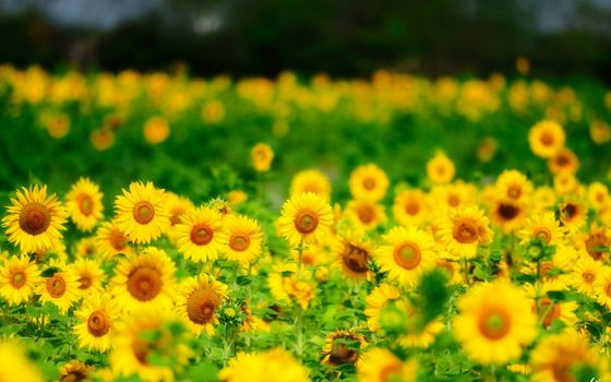 Photo free flowers, summer, sunflowers
