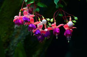 Фото бесплатно Комнатный цветок фуксия, Грацилис, растение