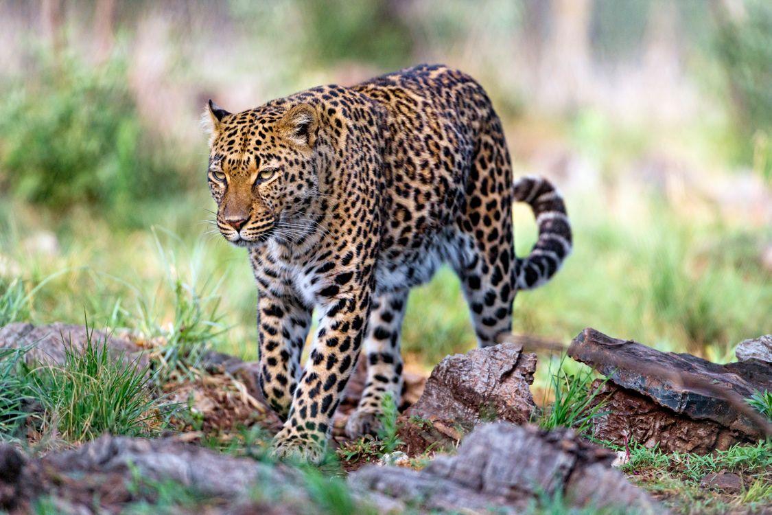 Фото бесплатно большая кошка, взгляд, леопард - на рабочий стол