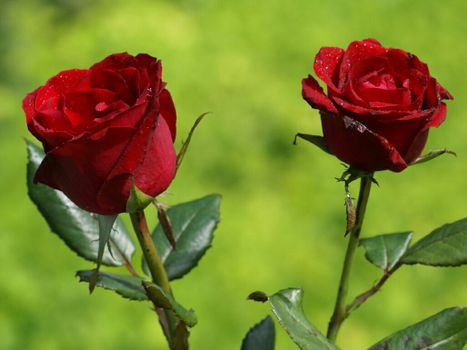 To see photos of rose, red free