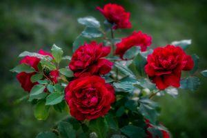 Фото бесплатно роза, цветы, флора