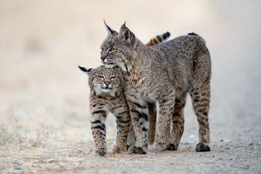 Photo free Lynx lynx, predator, animal