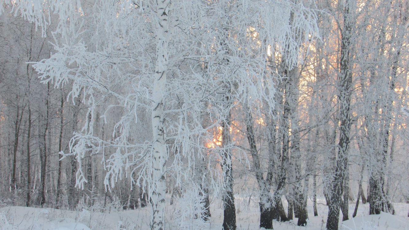 Березовая роща зимой · бесплатная заставка