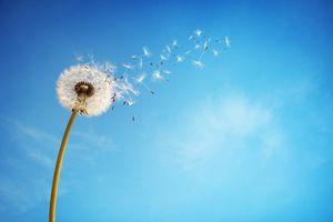 Фото бесплатно фон, одуванчик, цветок