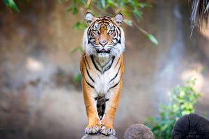 Фото бесплатно тигр, взгляд, большая кошка