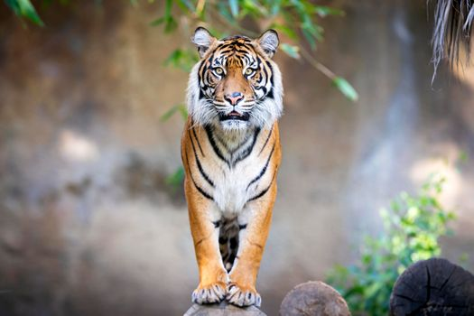 Заставки тигр, взгляд, большая кошка