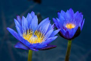 Фото бесплатно пруд, листья, вода лилии