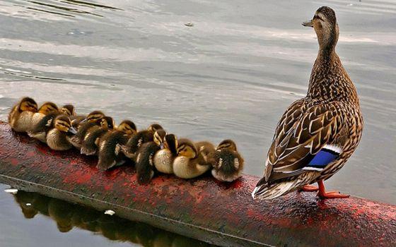 Photo free child, birds, duckling