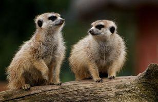 Заставки meerkat, двое на дереве, высматривают