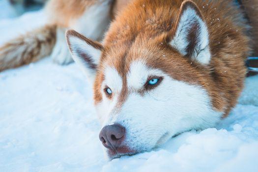 Заставки Сибирский хаски, рыжий, голубые глаза