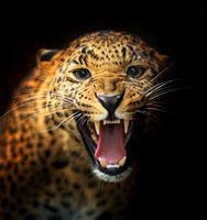 Бесплатные фото leopard,леопард,взгляд,оскал
