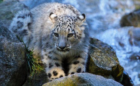 Фото бесплатно Молодой снежный барс, большая кошка, котёнок