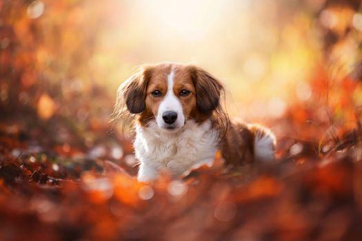 Kooikerhondje and autumn foliage · free photo