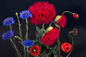 Бесплатные фото васильки,маки,чёрный фон,цветы,флора