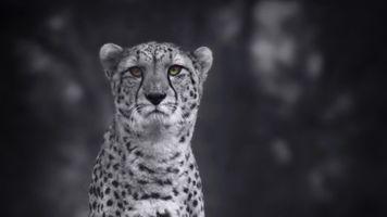 Фото бесплатно Cheetah, HD, 4K