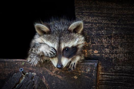Photo free raccoon, animal, carnivorous mammal