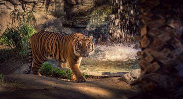 Фото бесплатно тигр, зоопарк, водопад