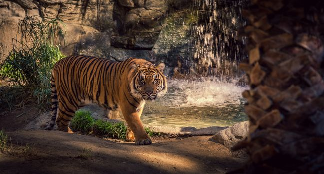 Заставки тигр, зоопарк, водопад