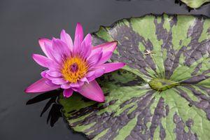 Фото бесплатно листья, водяная лилия, цветы
