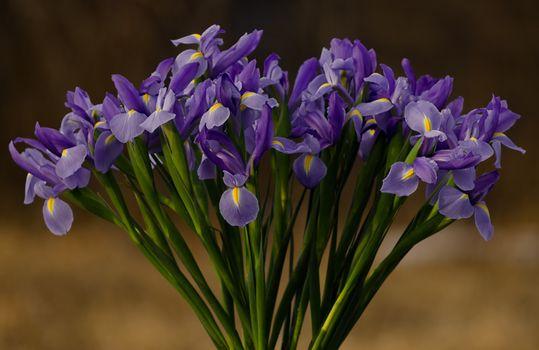 Фото бесплатно цветы, букет, ирис