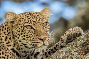 Фото бесплатно кошка, хищник, большая кошка