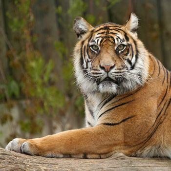 Тигр заметил фотографа, за секунду до... · бесплатное фото