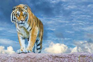 Заставки тигр, облако, хищник