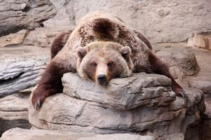 Заставки Grizzly, камень, поза