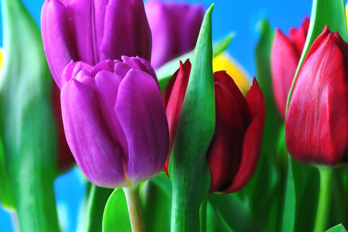 Шикарные тюльпаны · бесплатное фото