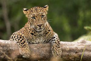 Фото бесплатно леопард, прислушивается кто сзади, звук сзади
