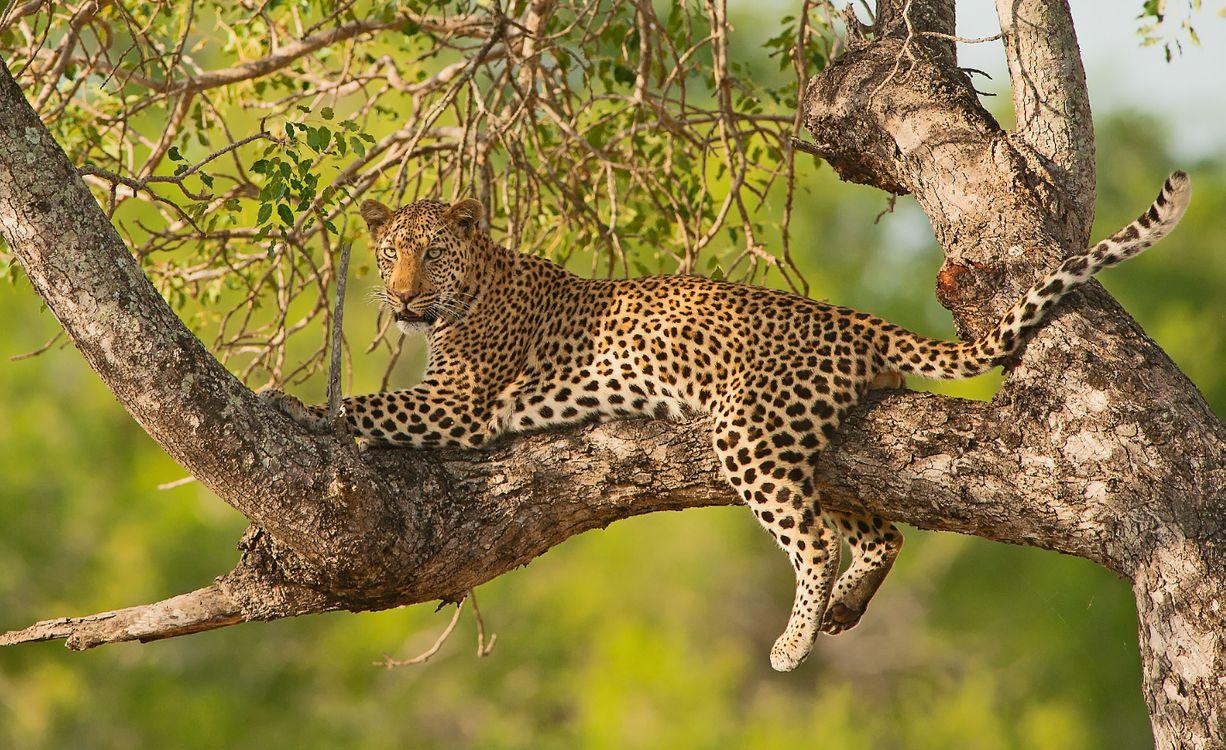 Фото бесплатно Leopard in tree, на дереве, лапы - на рабочий стол