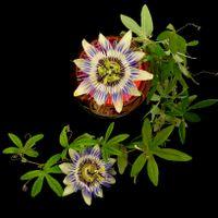 Фото бесплатно Пассифлора, цветы, Pasionflower