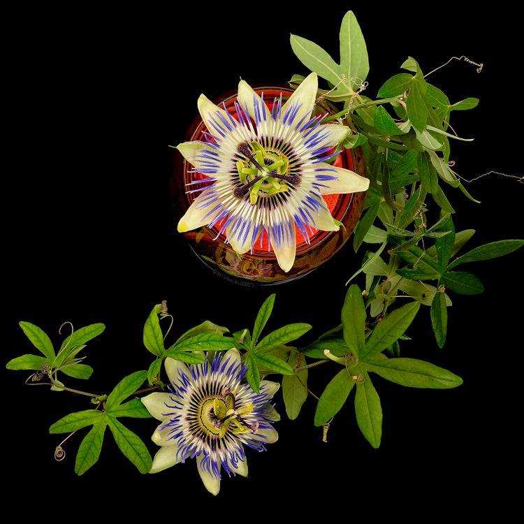 Обои Пассифлора, Страстоцвет, Pasionflower, цветок, цветы, флора на телефон | картинки цветы - скачать