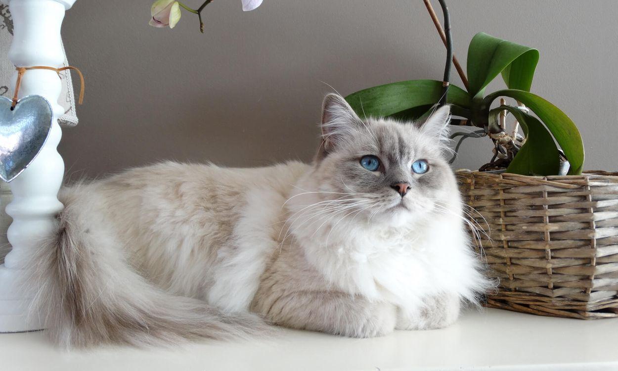 Фото бесплатно белый пушистый кот, голубые глаза, лежа - на рабочий стол