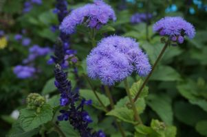 Photo free Ageratum, Ageratum Ageratum Latin, genus of plants of the Aster family