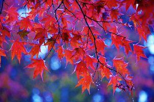 Бесплатные фото осень,октябрь,осенняя листва,ветки деревьев,красные листья,Японский клен,природа