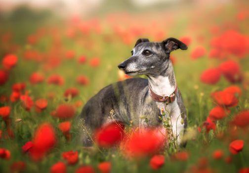 Elegant Italian greyhound in the poppy field · free photo