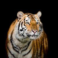 Бесплатные фото тигр,портрет тигра,хищник,животное,семейства кошачьих