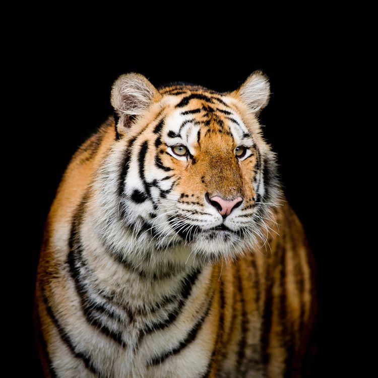 Обои животное, хищник, портрет тигра картинки на телефон