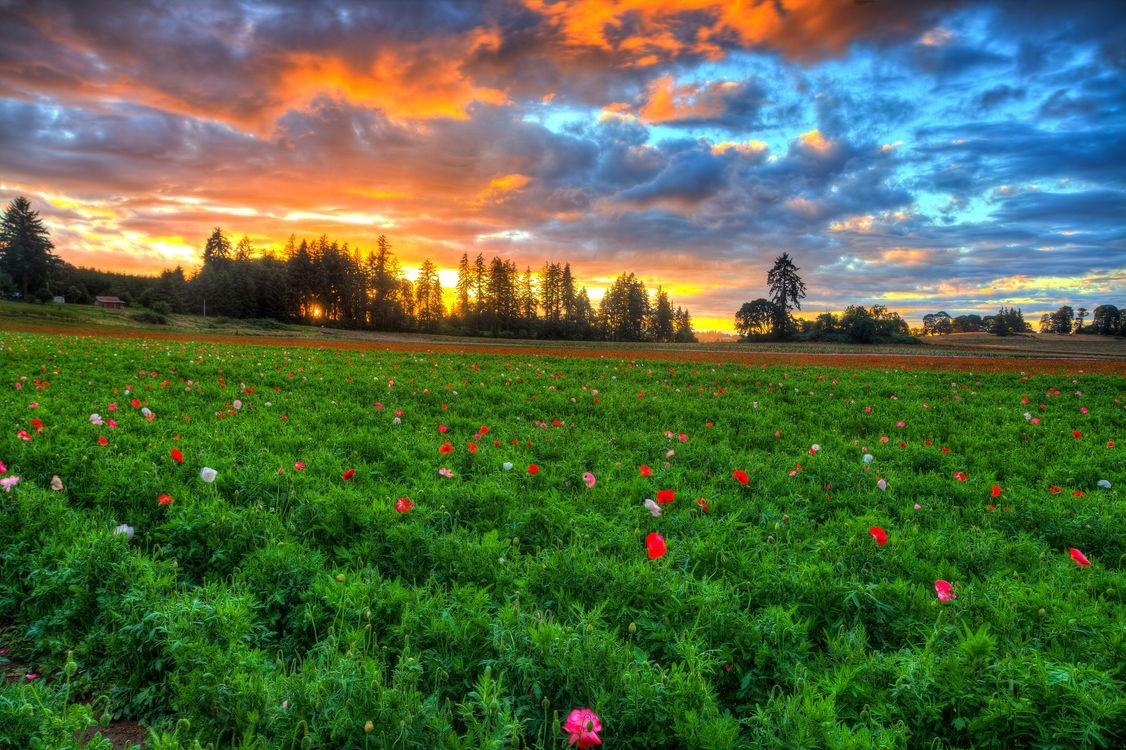 Фото бесплатно закат, поле, цветы, деревья, небо, облака, пейзаж, пейзажи