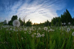 Бесплатные фото закат,поле,трава,растения,одуванчики,деревья,пейзаж