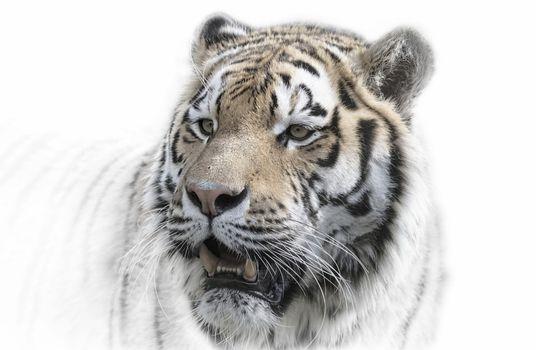 Заставки большие кошки, животные, тигр