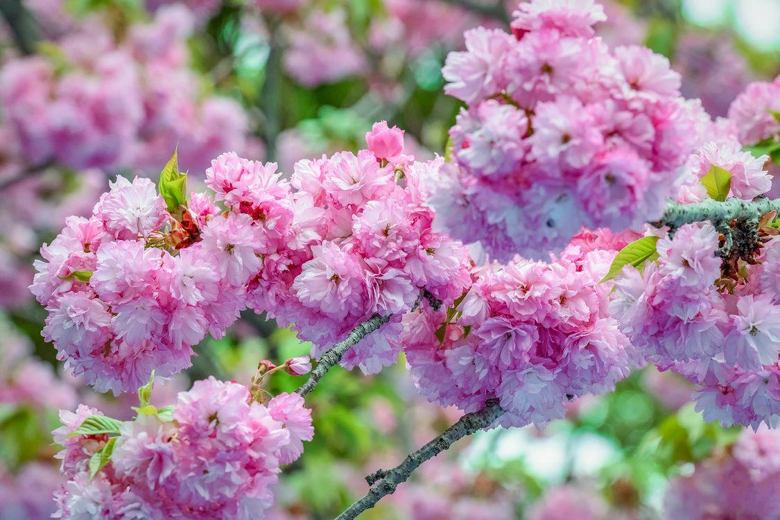 Фото бесплатно цветение, флора, Cherry Blossom - на рабочий стол
